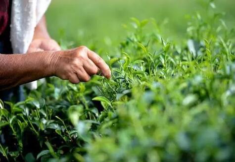 乌龙茶要如何存茶
