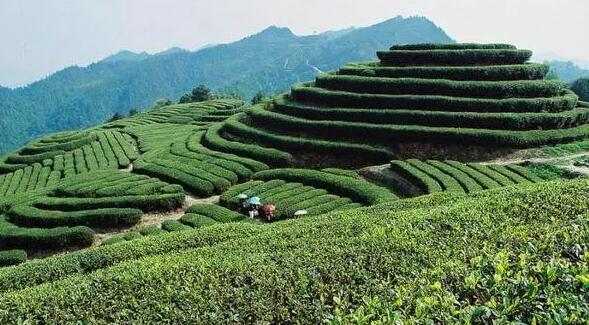 白芽奇兰:最具漳州特色的茶